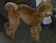 Toy Poodle, 11 months, Brown